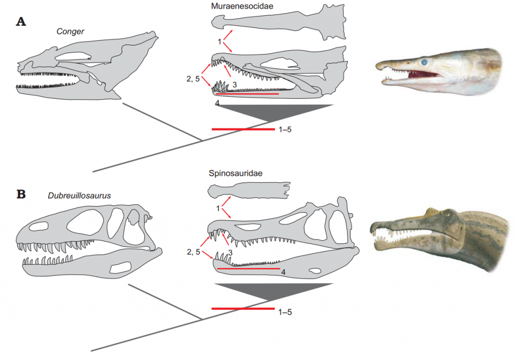 Comparative_evolution_of_jaws_between_Muraenesocidae_(A)_and_Spinosauridae_(B)
